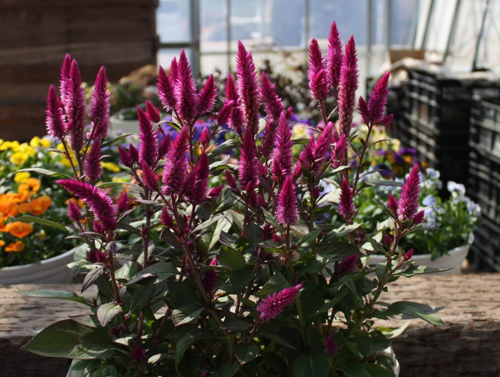 Asian Garden Celosia