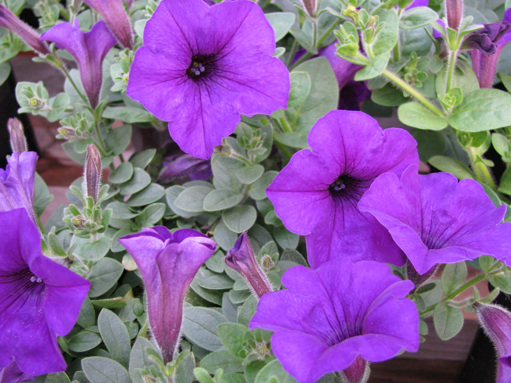 Petunia 'Purple Wave'